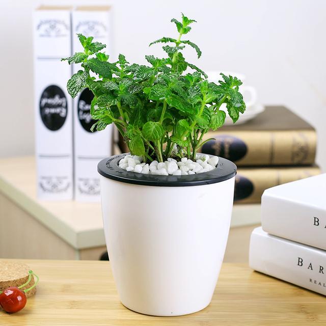 据说在办公室或者家里种植它以后,会让你神清气爽