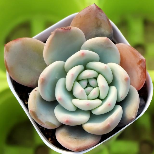 最容易爆盆又便宜的多肉植物,真正的懒人植物,尤其是2,8