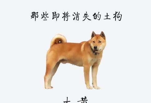 为什么中华田园犬不受欢迎?