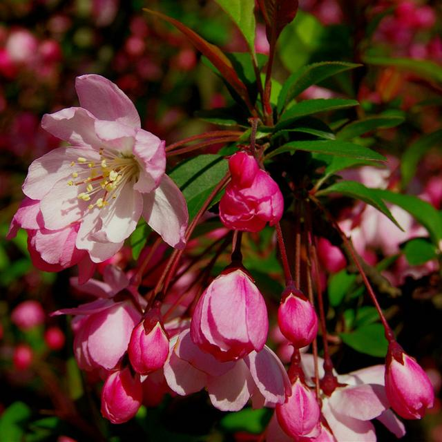 海棠、梅花,色调浓淡总相宜的庭院花卉
