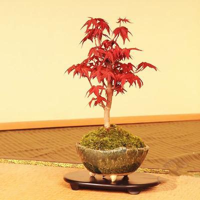 在花卉市场都难买到的树桩盆景,在这里分享给大家,抓紧围观