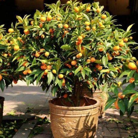 阳台上种植这些水果盆栽,不占地且漂亮还摘着能吃