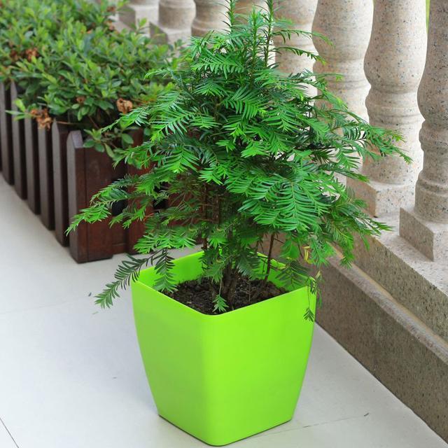 红豆杉,养生树,四季常绿去甲醛,人人都爱的健康树