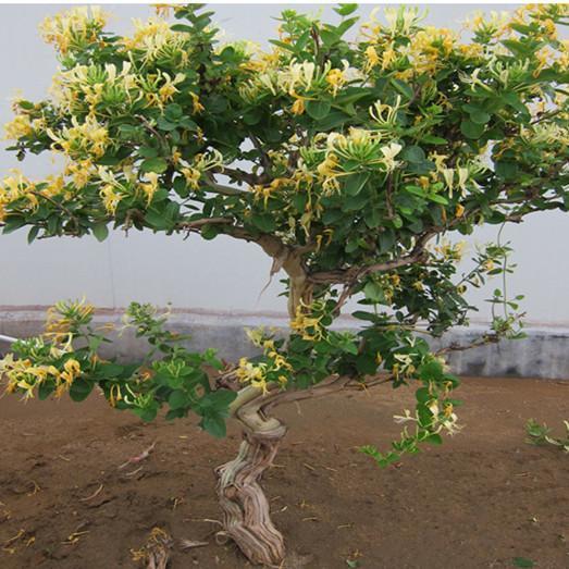金银花盆景一蒂二花,似鸳鸯对舞,故有鸳鸯藤之称