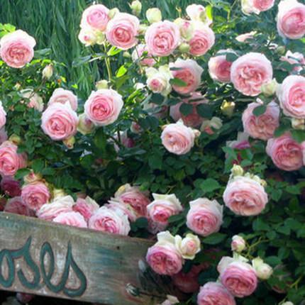 养了这么多年的花,还是这几种比较好,花大色美容易活还小有名气