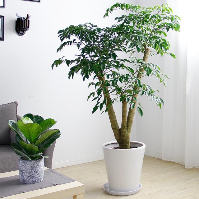 客厅放上几款这样的绿植,不仅能转运,还养人,有钱人家都爱种植