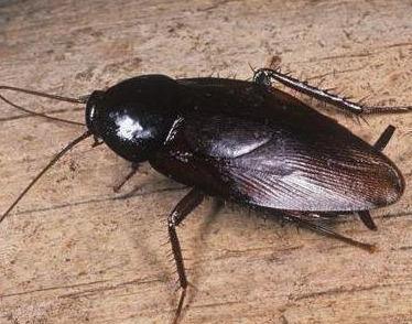 厨房蟑螂超级多?只需1个土豆,蟑螂家族2分钟死光光,不花一毛钱