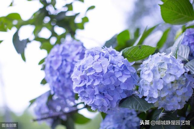 """这种能变色花土""""酸蓝碱红"""",老花农说出原因,任意养出不同颜色"""