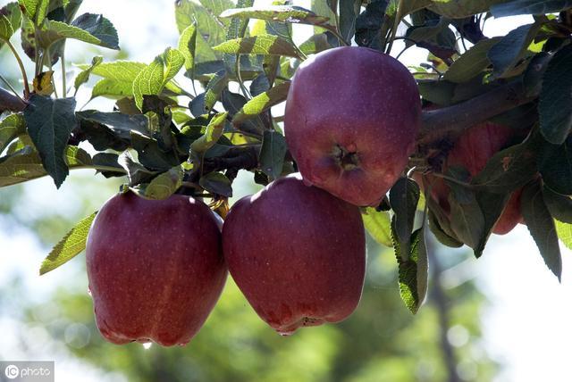 """今年花牛苹果没""""牛""""起来,价格暴跌到5毛1斤,到底原因何在?"""