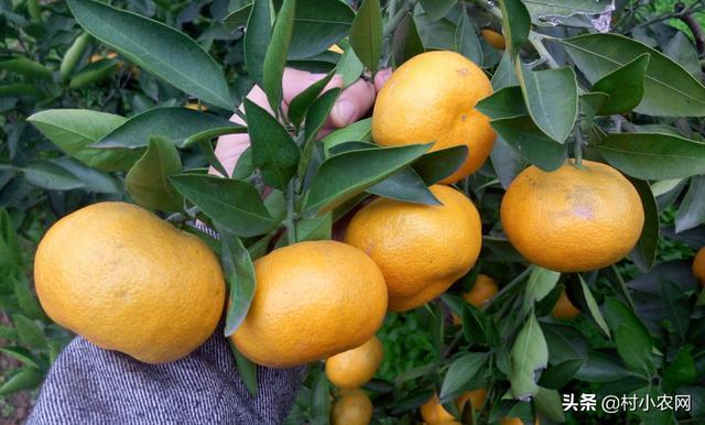 """它是柑橘中长的最漂亮的,人送外号""""红美人"""",舌尖上的美味!"""