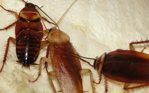 只要一粒大蒜,就把厨房蟑螂灭的干干净净,用过的家里彻底没蟑螂