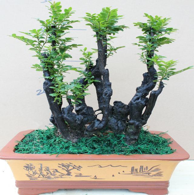 """高贵有品质的""""盆景""""的植物,四季常青,古色古香盆栽必选"""