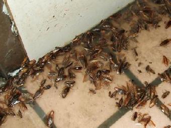 夏天蟑螂超级多?只要一片香蕉皮,不到1块钱,蟑螂有多少死多少