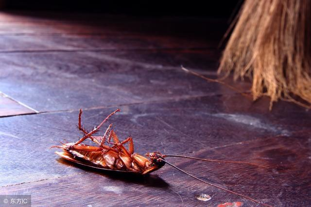 夏天蟑螂猖獗?用药是灭不光的!灭害专家教你一招,蟑螂都不见了