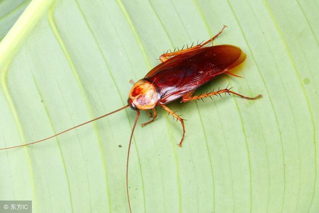 厨房蟑螂成群结队,还傻傻用蟑螂药?灭害专家教你把蟑螂全窝端