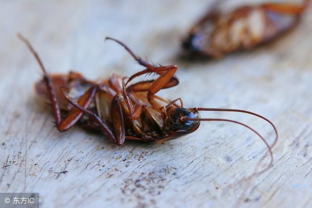 橱柜蟑螂成群出没,家政经验阿姨教你一招,蟑螂消失无踪