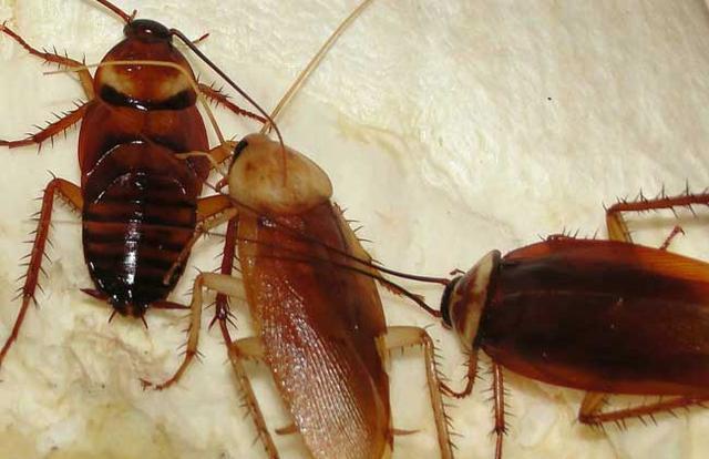 中,国最强蟑,螂-药,不是大蒜!厨房一食材,家里蟑螂断子绝孙
