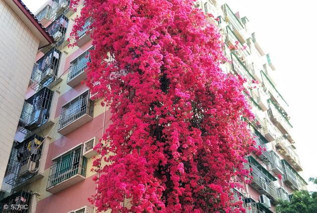 """夏天最""""美""""的3种爬藤花,花开一整夏,阳台种一棵就不得了"""