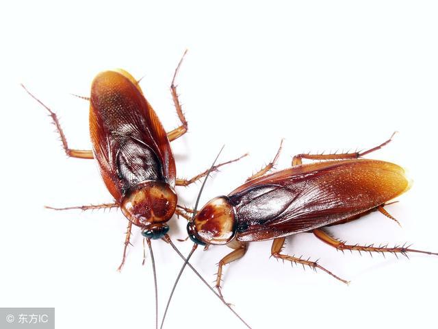 中国又一伟大发明灭蟑螂神器,厨房角落一放,蟑螂统统消失了