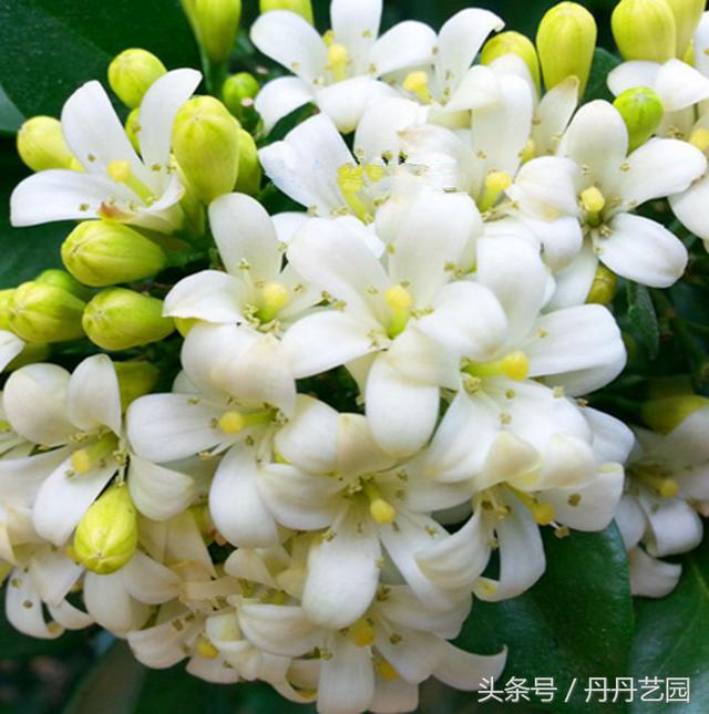 最昂贵的花卉,开花就爆盆,花开四季,花中有花,花香飘九里