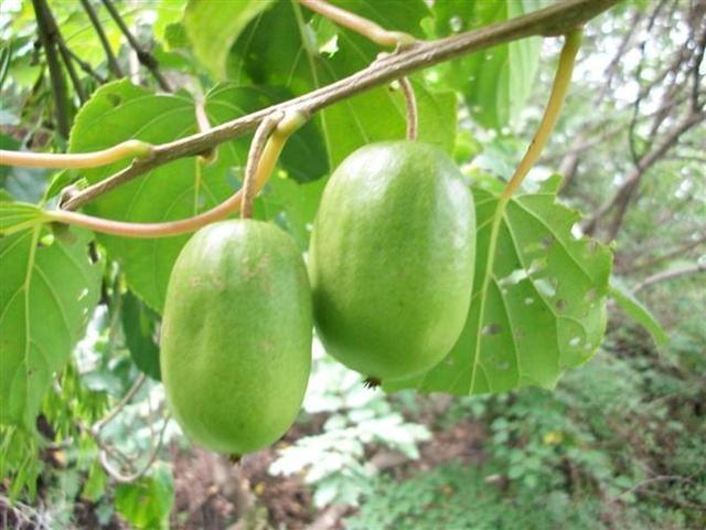 奇异莓到底是什么鬼?沾土就活产量颇高,栽培技术来了!