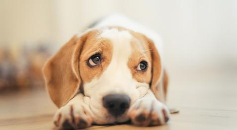 什么样的狗狗容易得关节炎?遇到这种情况,主人应该如何处理?