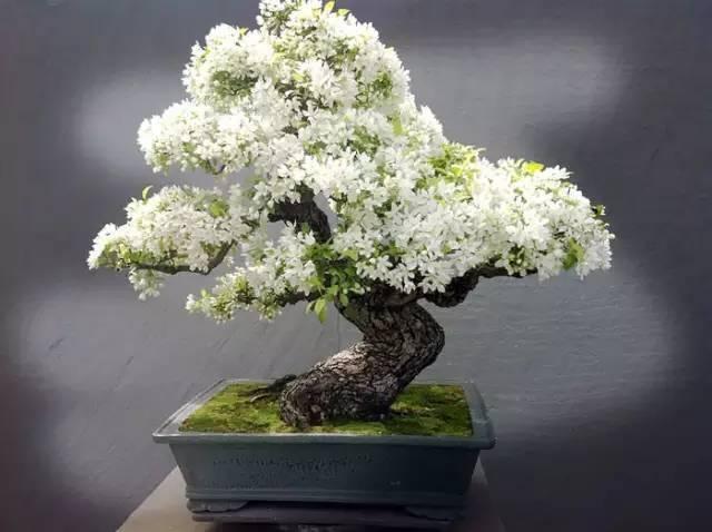 阳台上种这3种盆栽,一棵卖一千元,原来一盆好的盆栽能价值连城