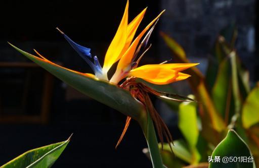 植物也能凤凰涅槃,它的花朵开的像凤凰,美丽不容错过哟