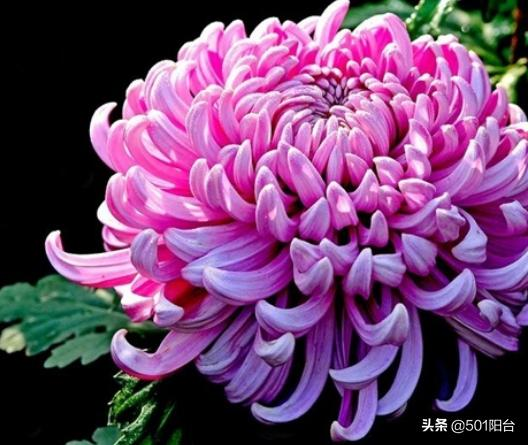 立冬在即,寒冬前的菊花要注意这几点,确保冬季花开不断