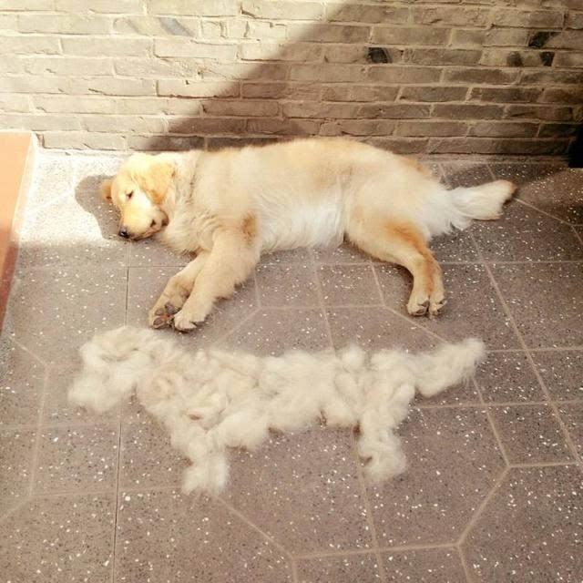 养狗万般好,唯有掉毛太烦恼,4个方法轻松解决