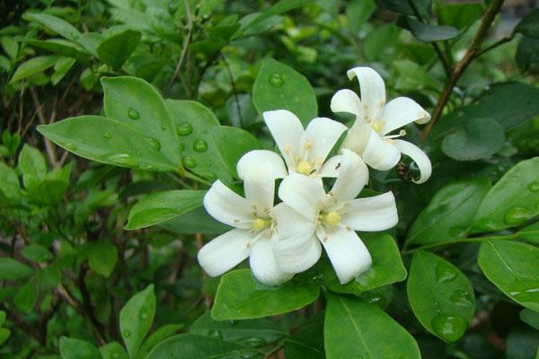 天然空气净化器,九里香开花洁白芳香,朱果耀目,不种一棵很可惜