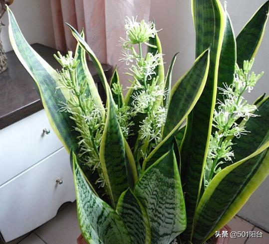 虎皮兰的小知识,一株虎皮兰就能净化空气?别在被卖花的骗了