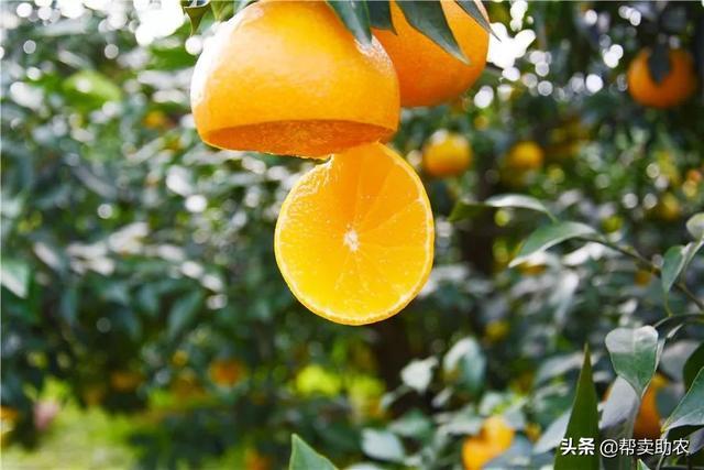 """可以直接吸着吃的""""果冻橙"""",肉细果粒感十足,每一口都爆浆"""