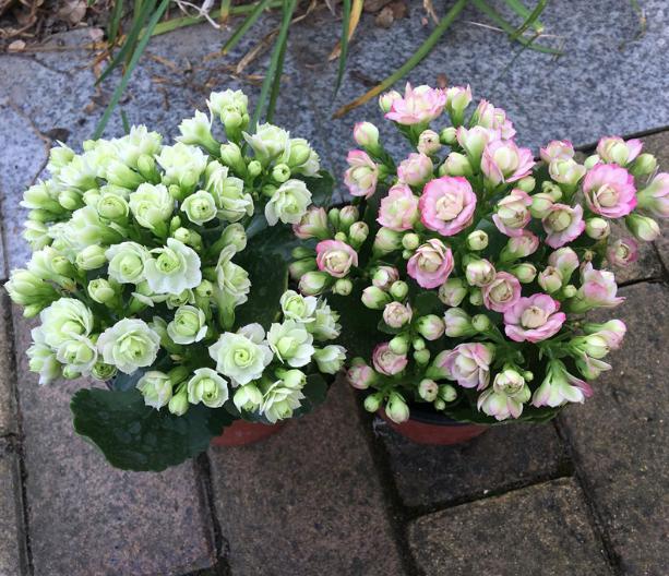 邻居家长寿花早已开花,我家却在观叶?1周1勺它,花苞呼呼冒