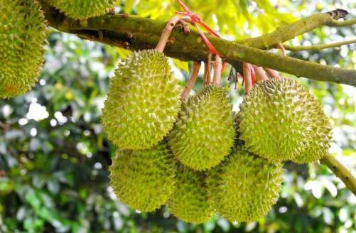 宁可院子不铺瓷砖,也要在庭院种这果树,沾土易成活,随时吃鲜果