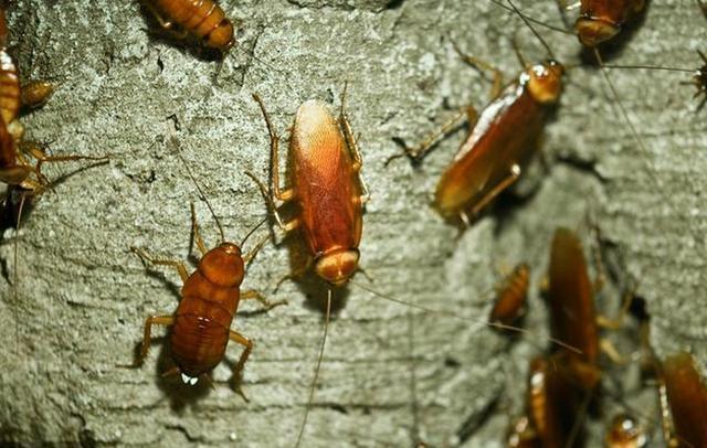 再见了蟑螂药,只要1个香蕉皮,蟑螂断子绝孙,方便快捷又安全