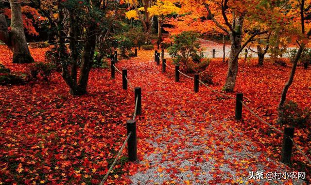 哪个红枫的品种最漂亮?更全面的让你了解红枫,一起来看看!