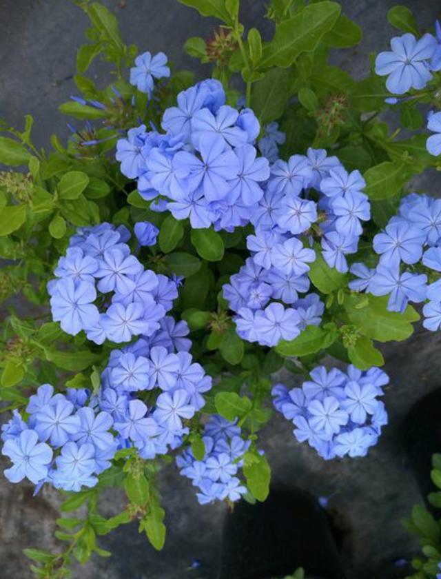 蓝雪花盛花期遭遇雨季,日常养殖多些细心,花开长久,清新依旧