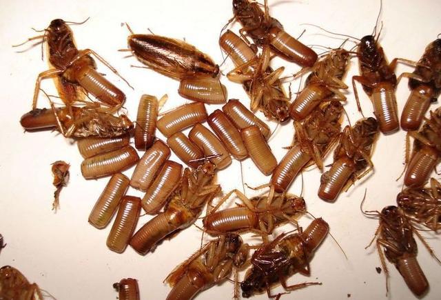 夏季家里蟑螂再多千万不要踩,只需一盆水,家里蟑螂断子绝孙