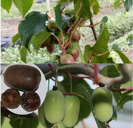 软枣猕猴桃有土就活,自己栽2颗,长出的果实皮薄汁多!