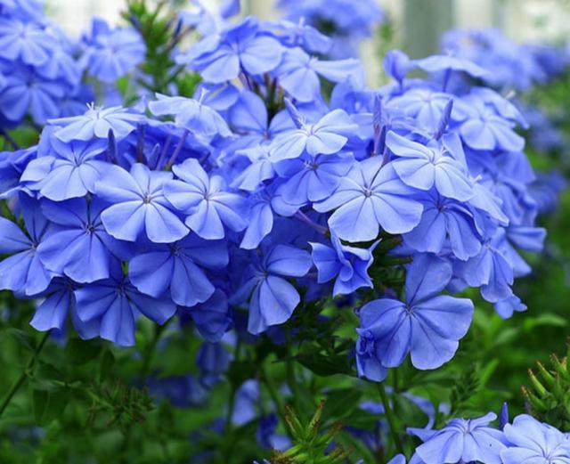 这种花适合新手养,从夏开到深秋,比月季好看还好养