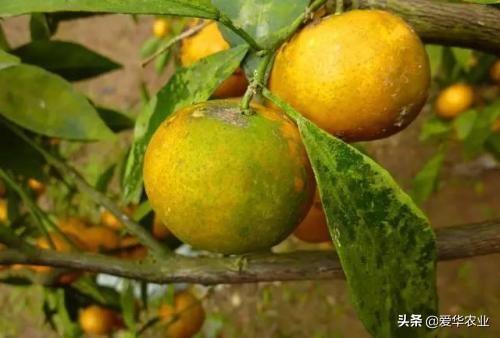 柑橘长青苔了怎么办?这个方法能有效的解决