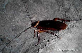 彻底消灭蟑螂的土方法,蟑螂最怕的天敌,地上放一个,蟑螂全灭光