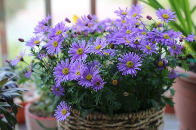 """这花是""""草花一霸"""",耐热又耐寒,全年都开花"""