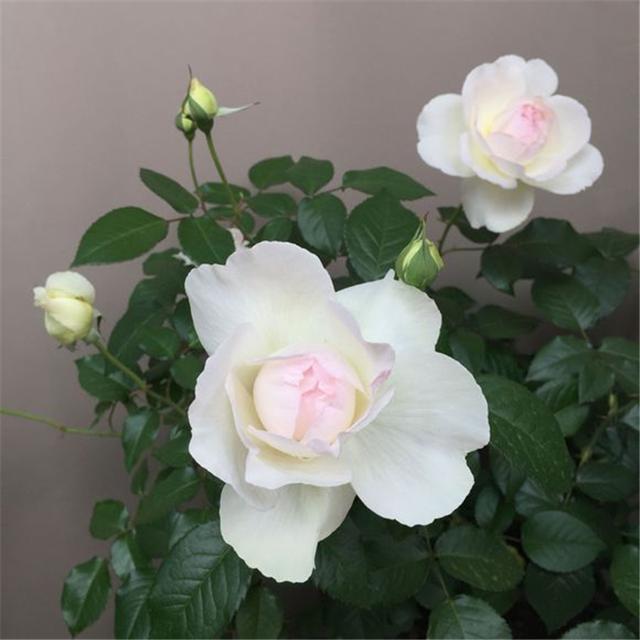 花香最浓的月季花,只需做好3点,四季都可开花