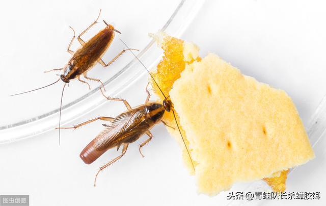 蟑螂最害怕的东西,放厨房,蟑螂会全部消失,家里从此一干二净