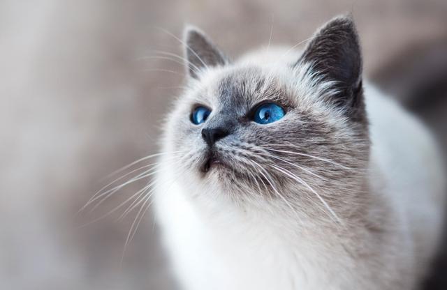 猫语猜谜:读懂猫咪的喵星语言,看它是喜欢你还是嫌弃你?