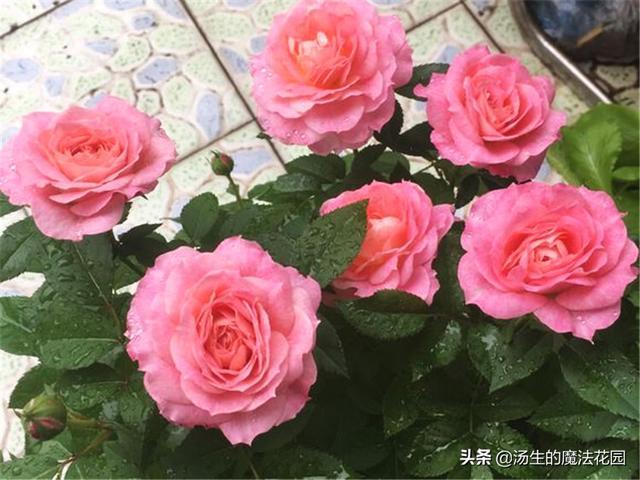 夏天这么养月季,花朵多又艳丽!美极了