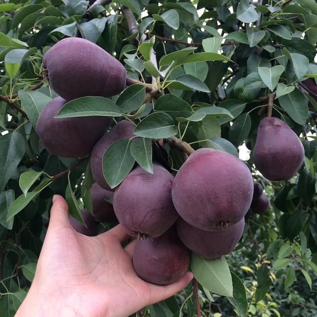 """家里有空地的,建议种这""""果树"""",一年两熟,当年结果,想吃就摘"""